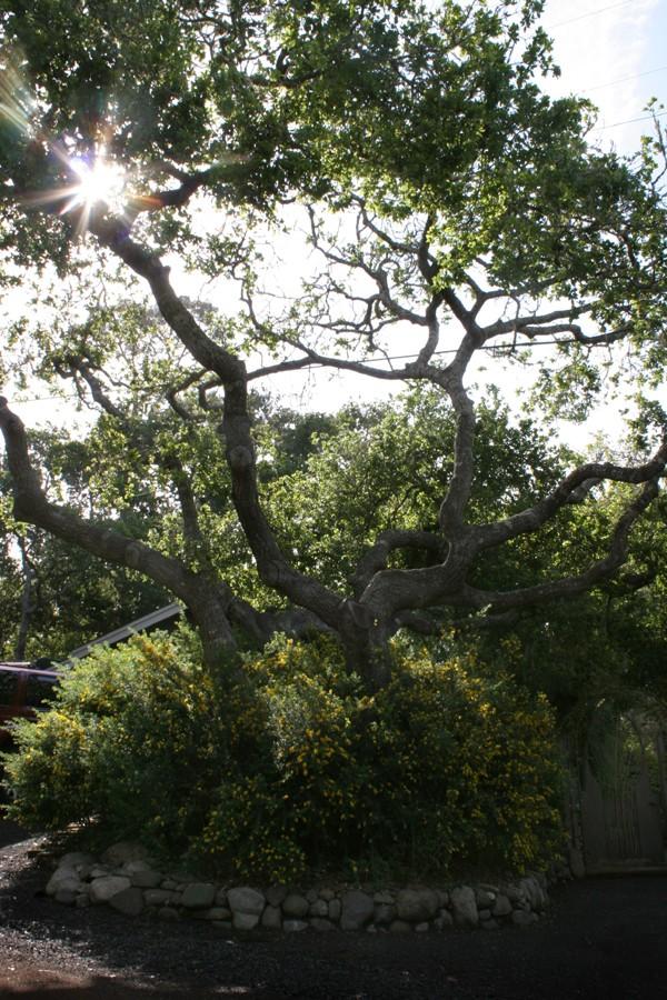 side_oaktree