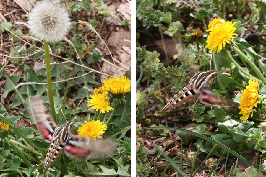 double moth
