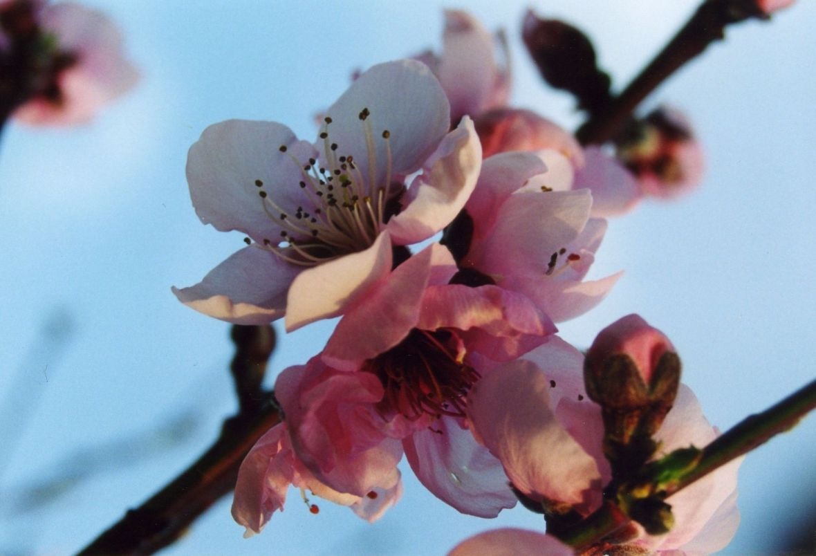 apple blossoms_1