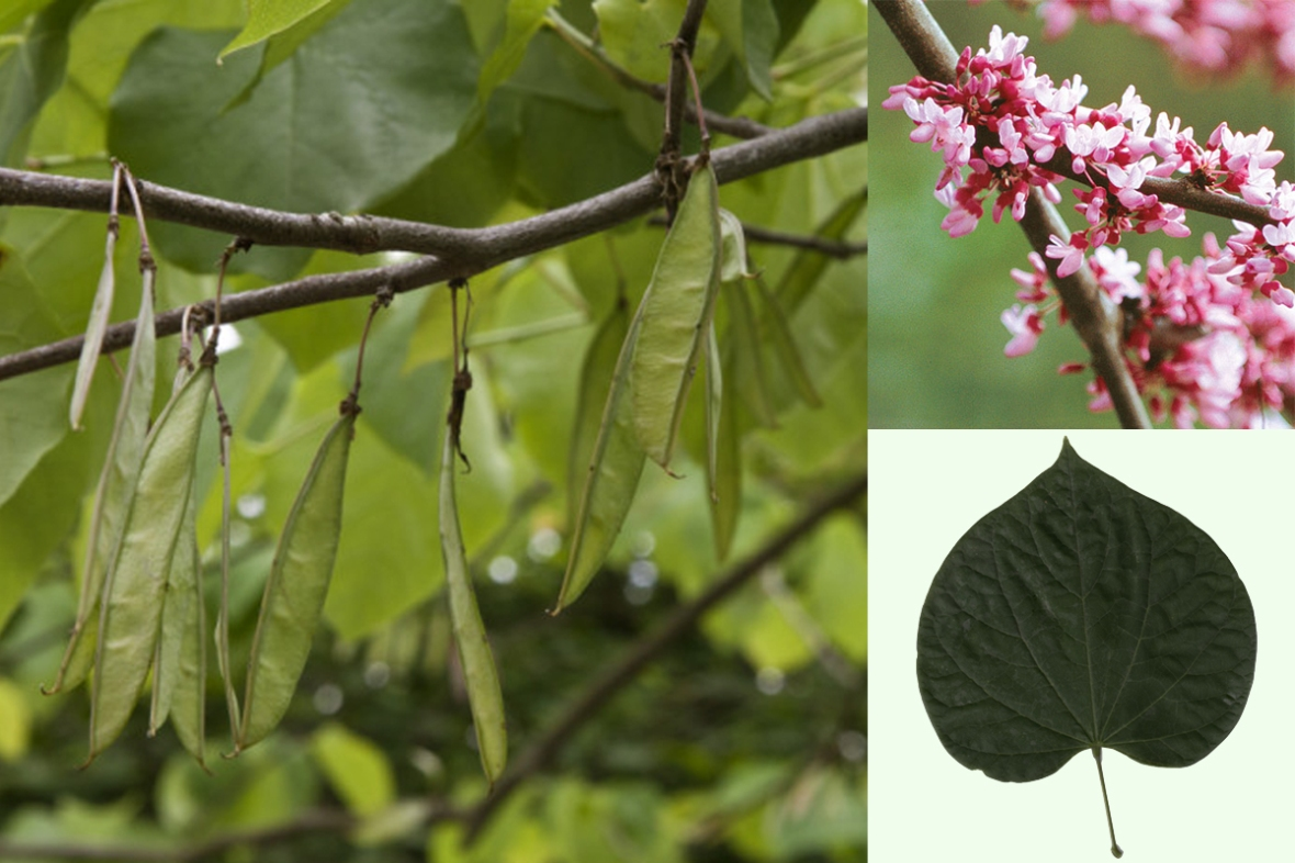 redbud_collage