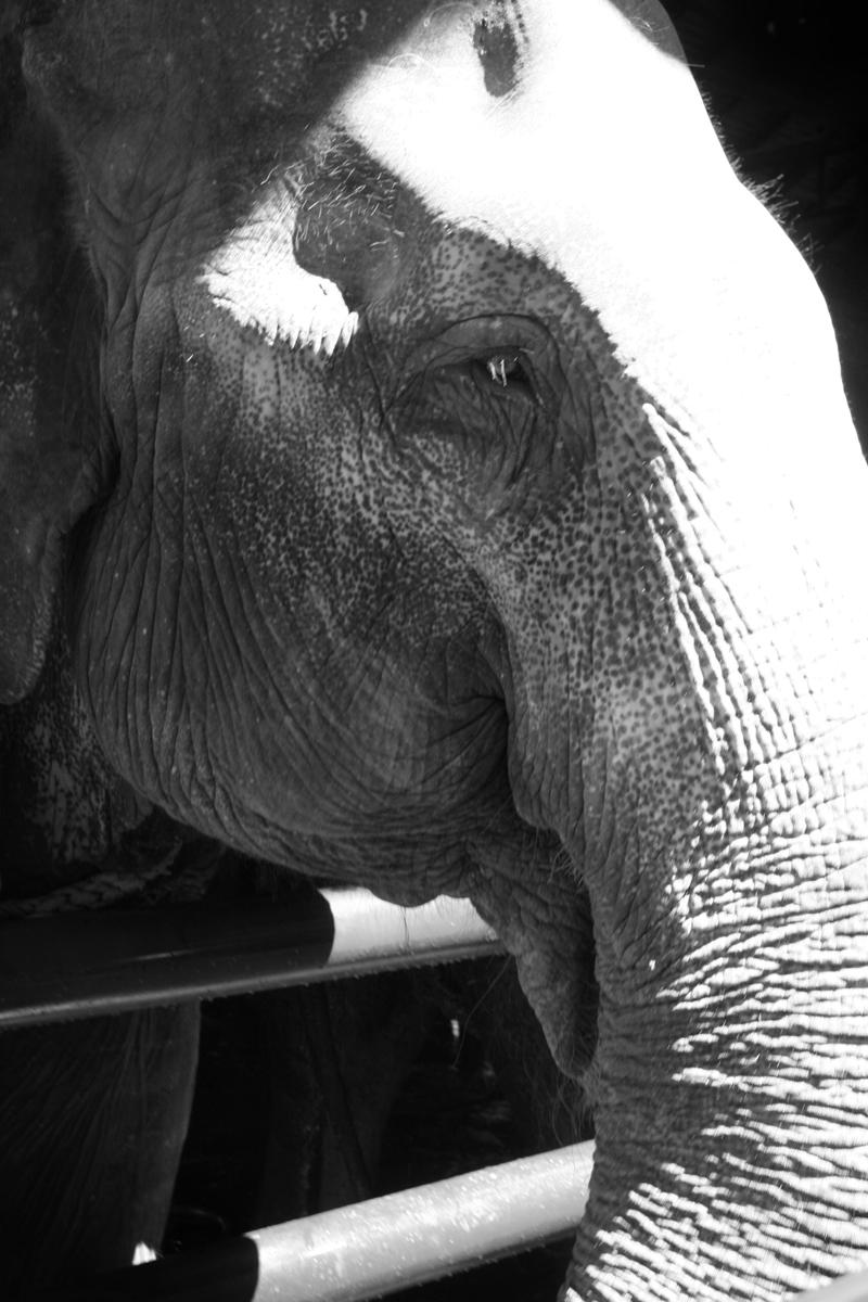 Elephant_bw