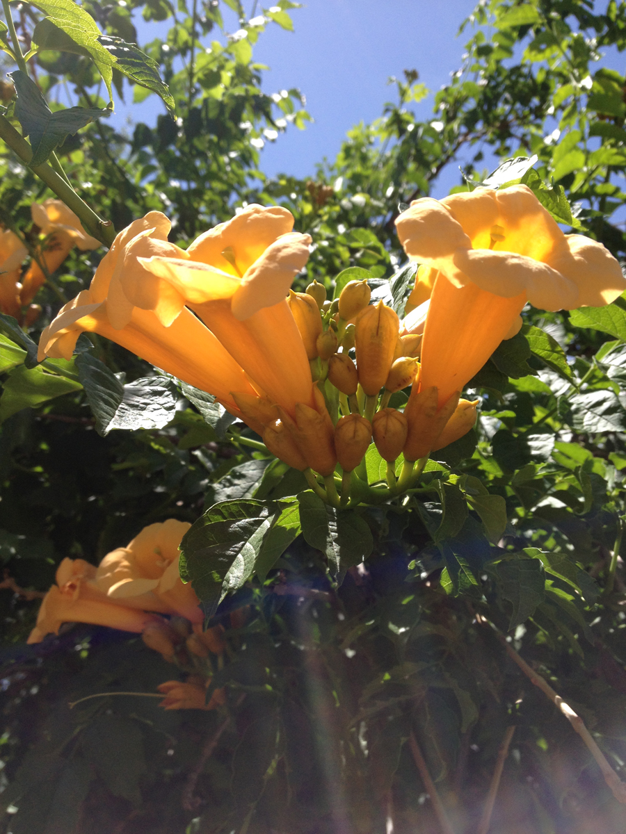 trumpet flowers