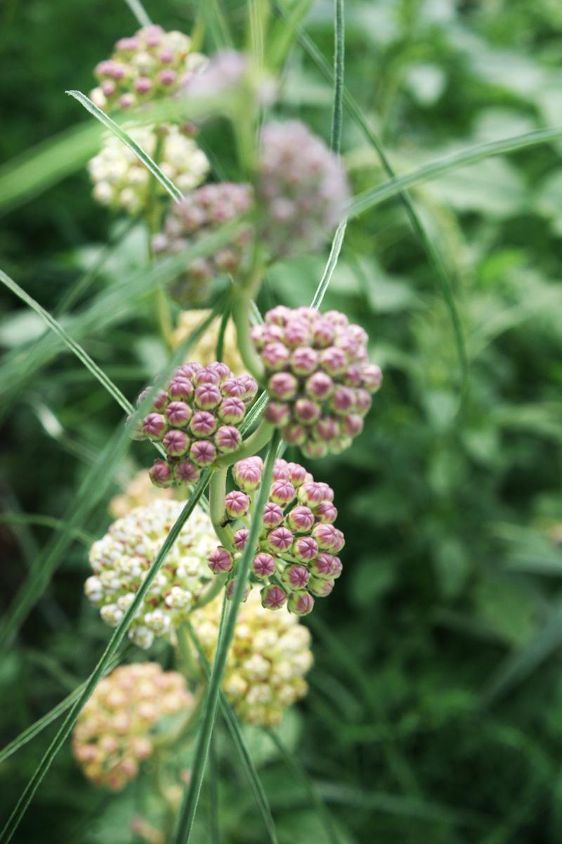 narrow leaved milkweed prairie 2