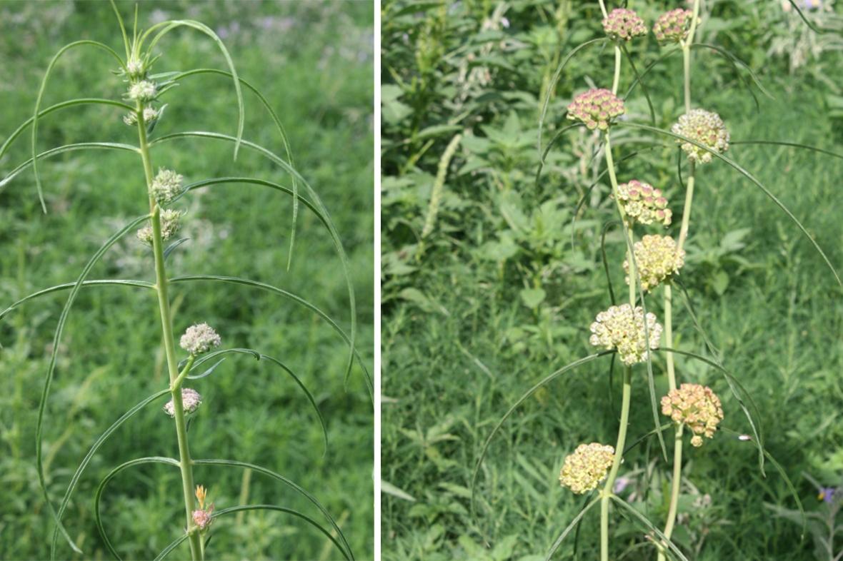 narrow leaved milkweed prairie