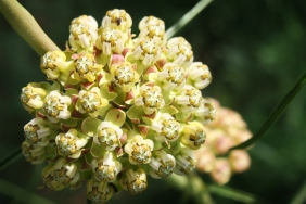 narrow leaved milkweed Texas