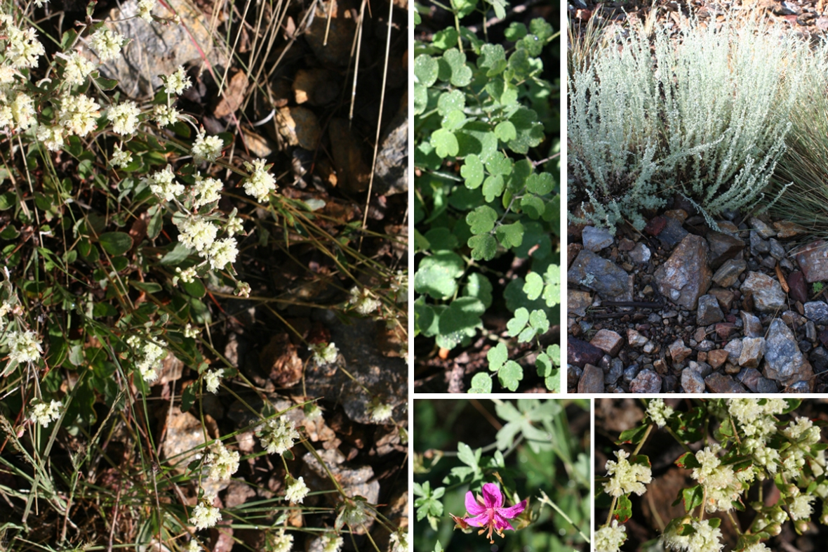 Geranium caespitosum_New Mexico foliage