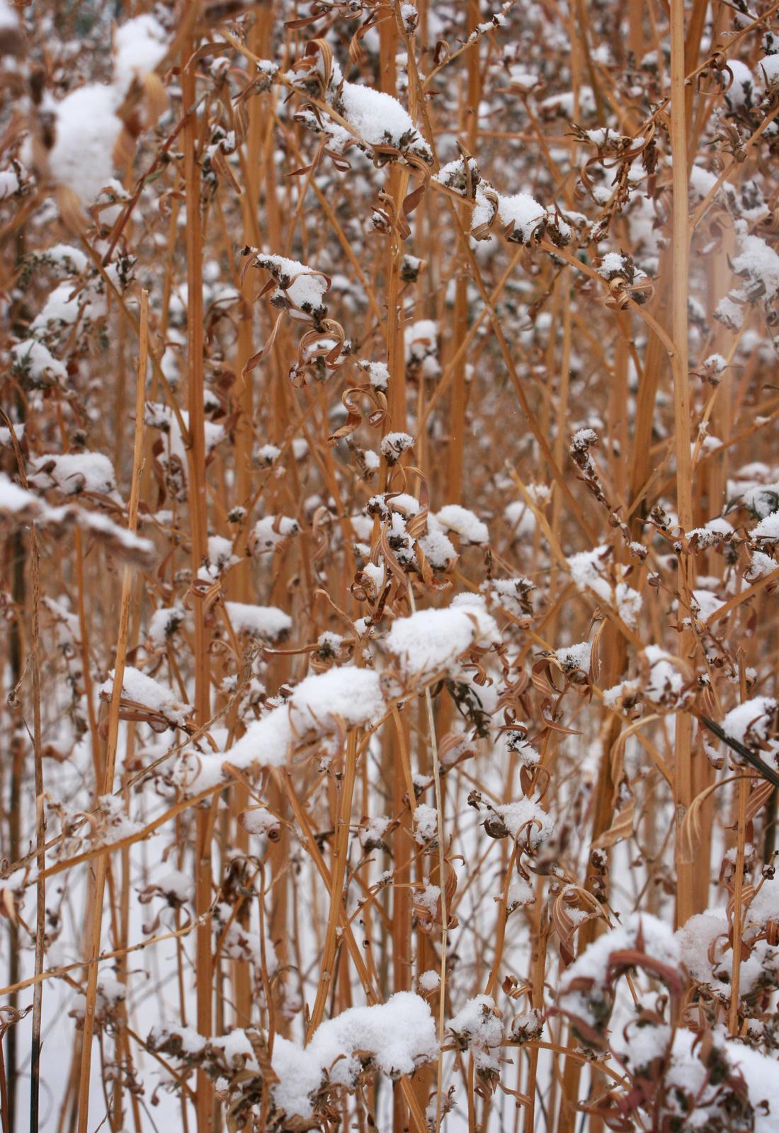 snow weeds