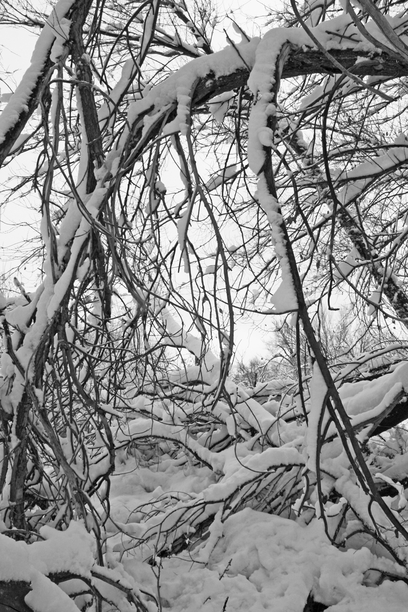 Amber_Howe_Snow_branches
