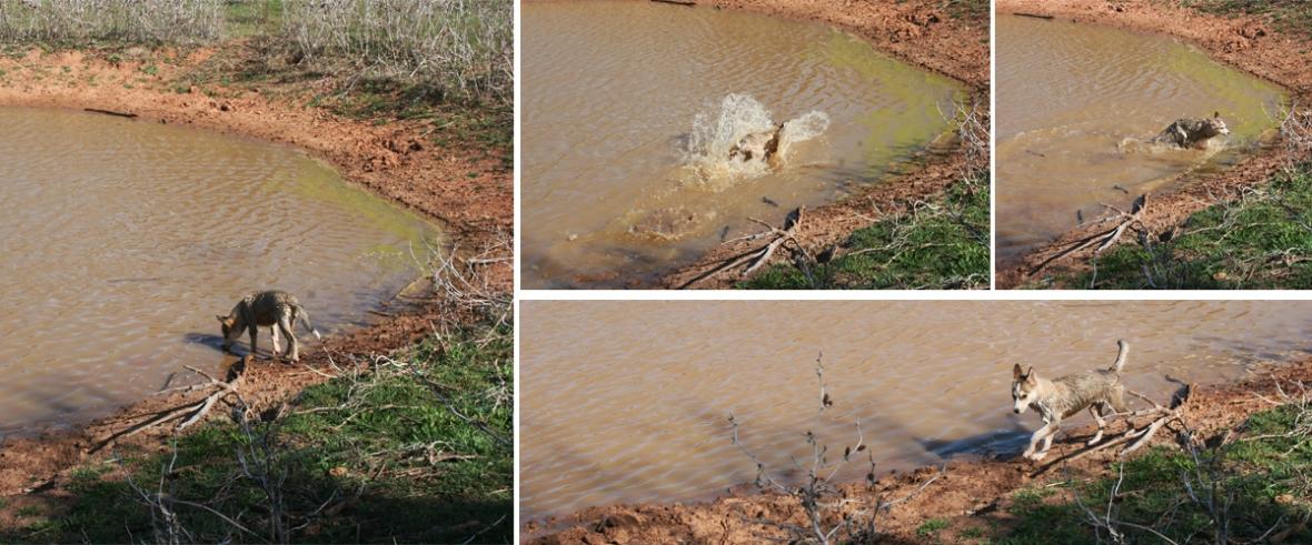Husky swimming