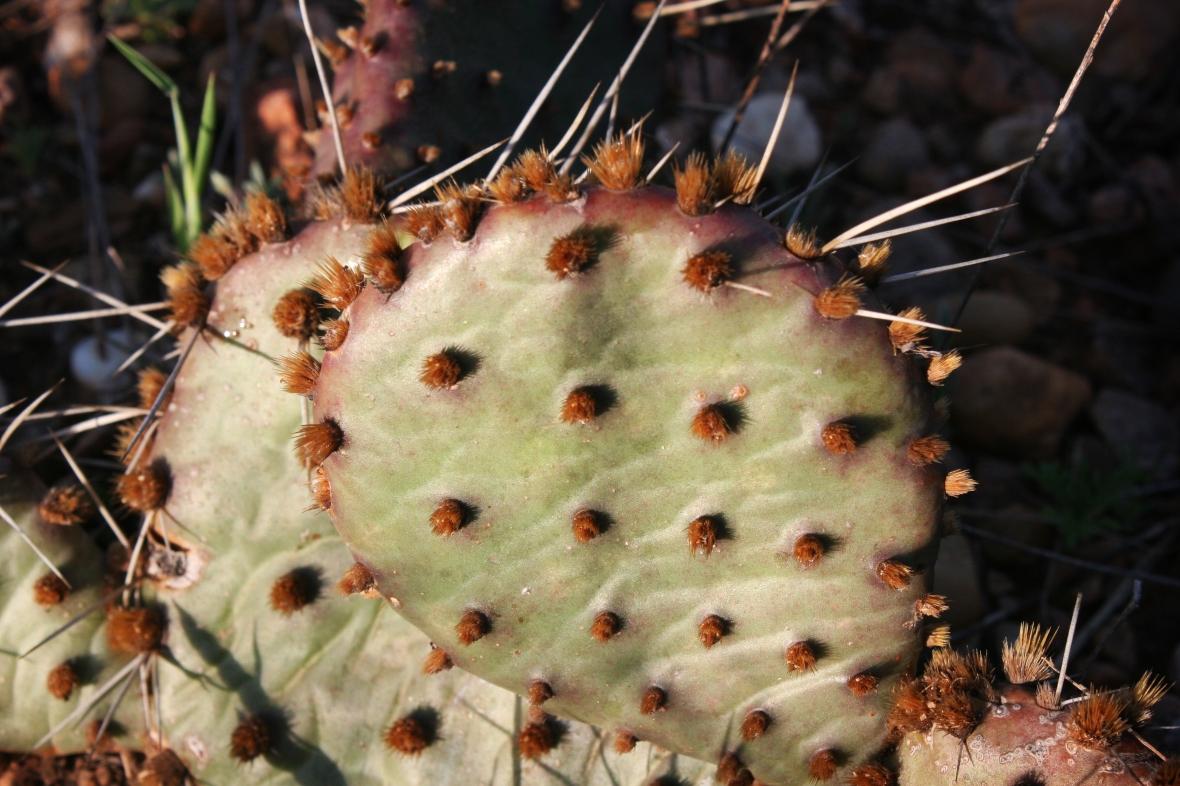 morning cactus