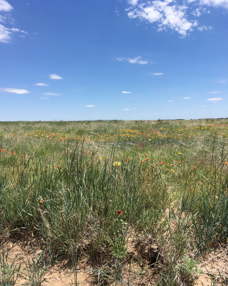 Cimarron Grasslands wildflowers