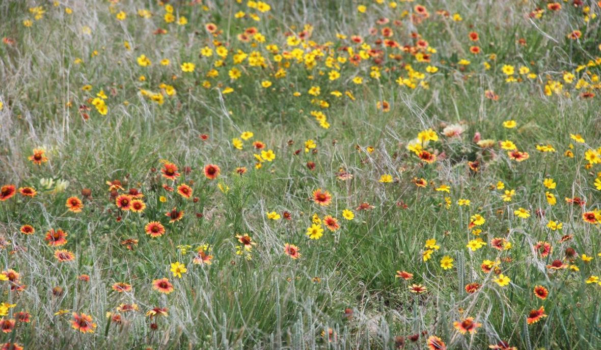 wildflowers Kansas Cimarron Grasslands