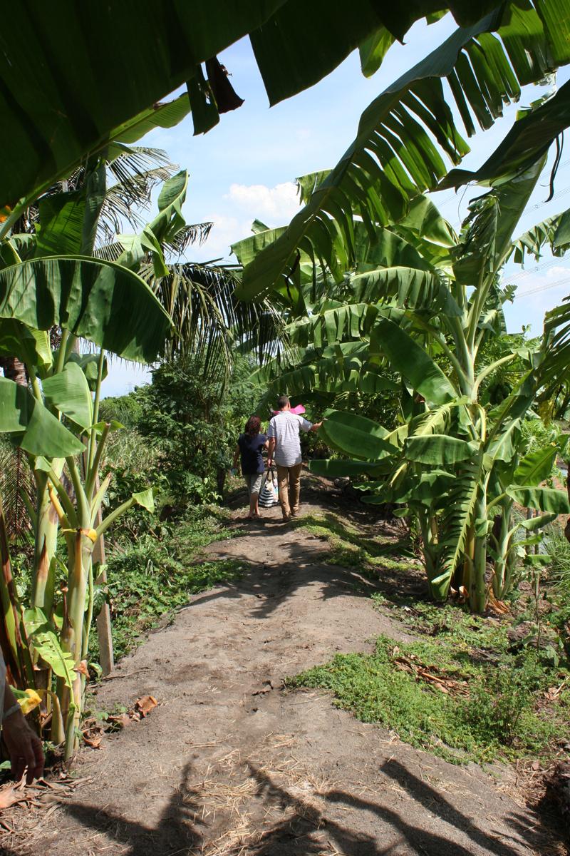 banana trees Thailand