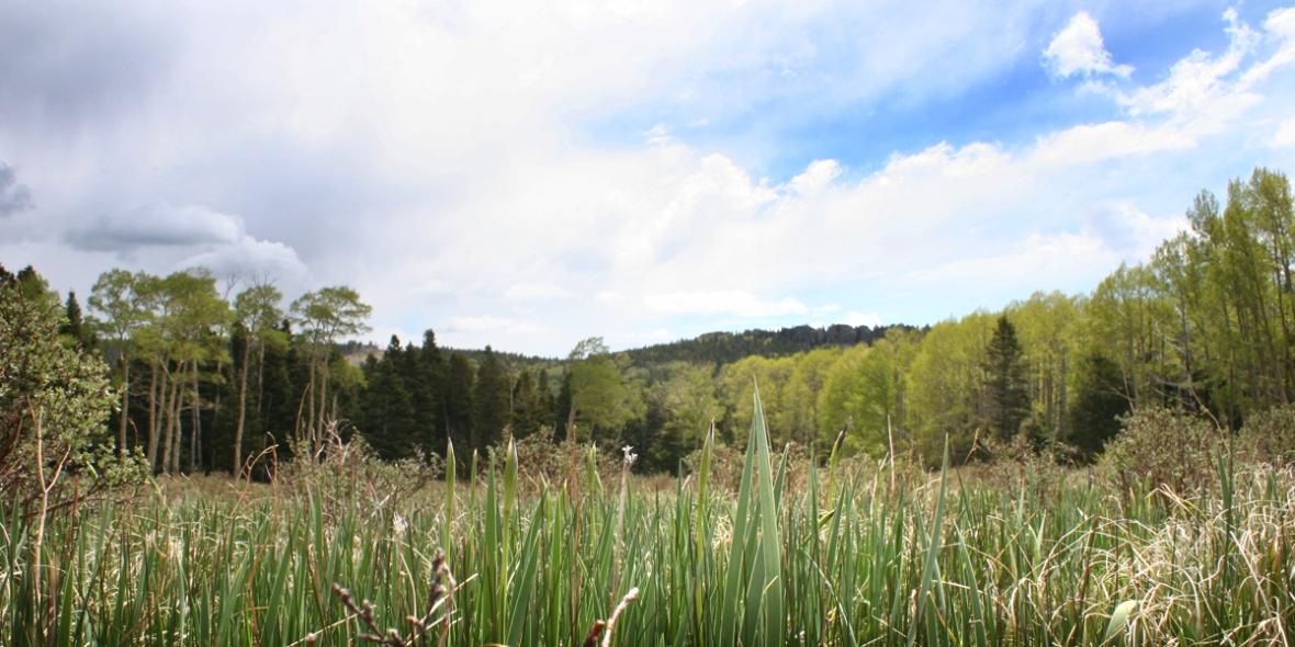 Iris meadow 2