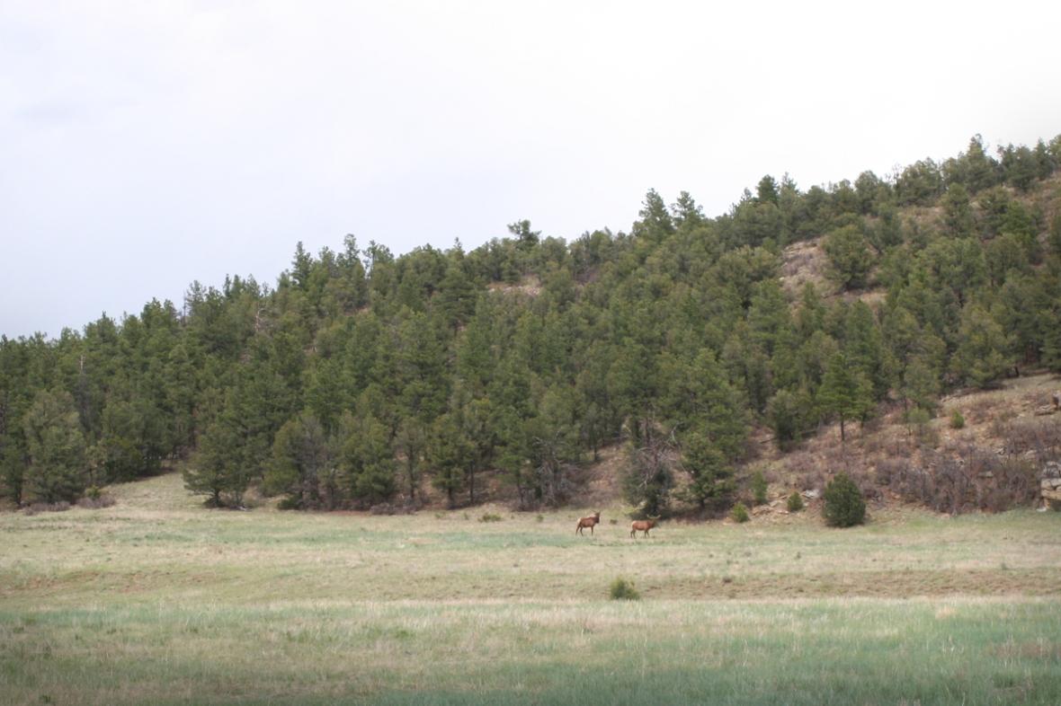 Elk or deer
